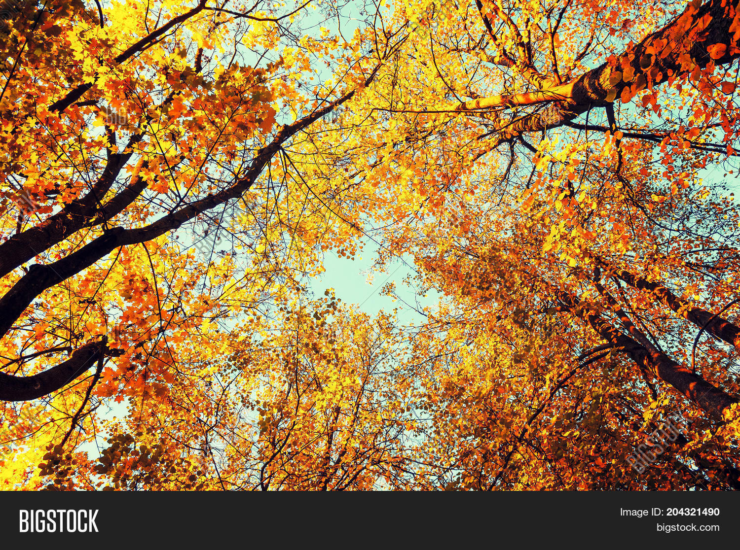 Autumn Tree Wallpaper 61 Images: Fall Tree Tops- Golden Image & Photo (Free Trial)