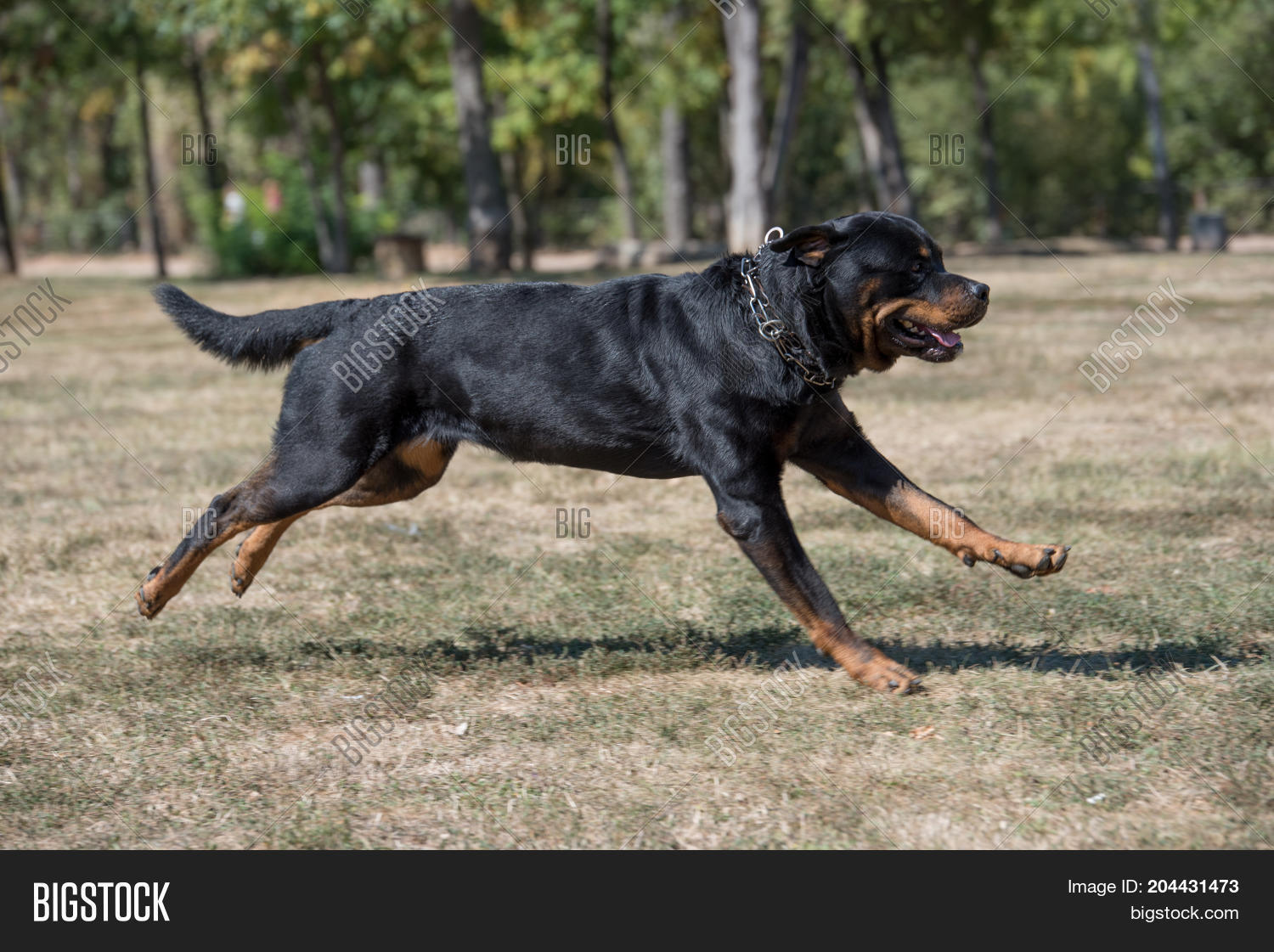 Rottweiler Dog Running Image Photo Free Trial Bigstock