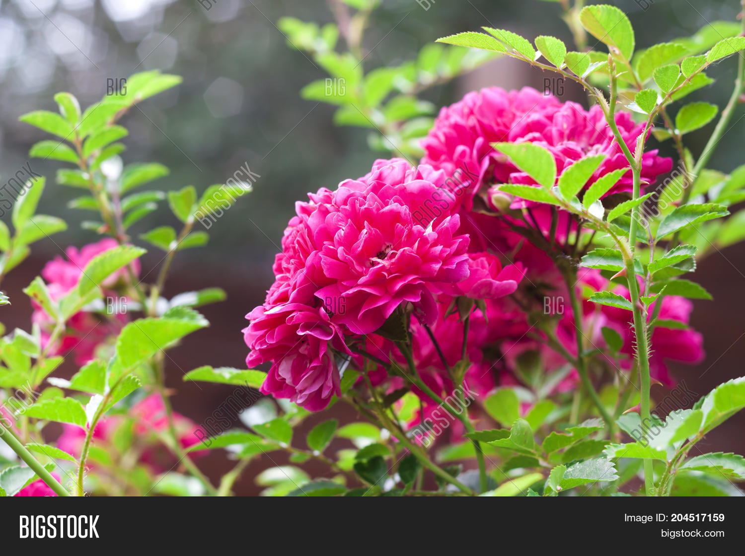 Flowers Pink Climbing Image Photo Free Trial Bigstock