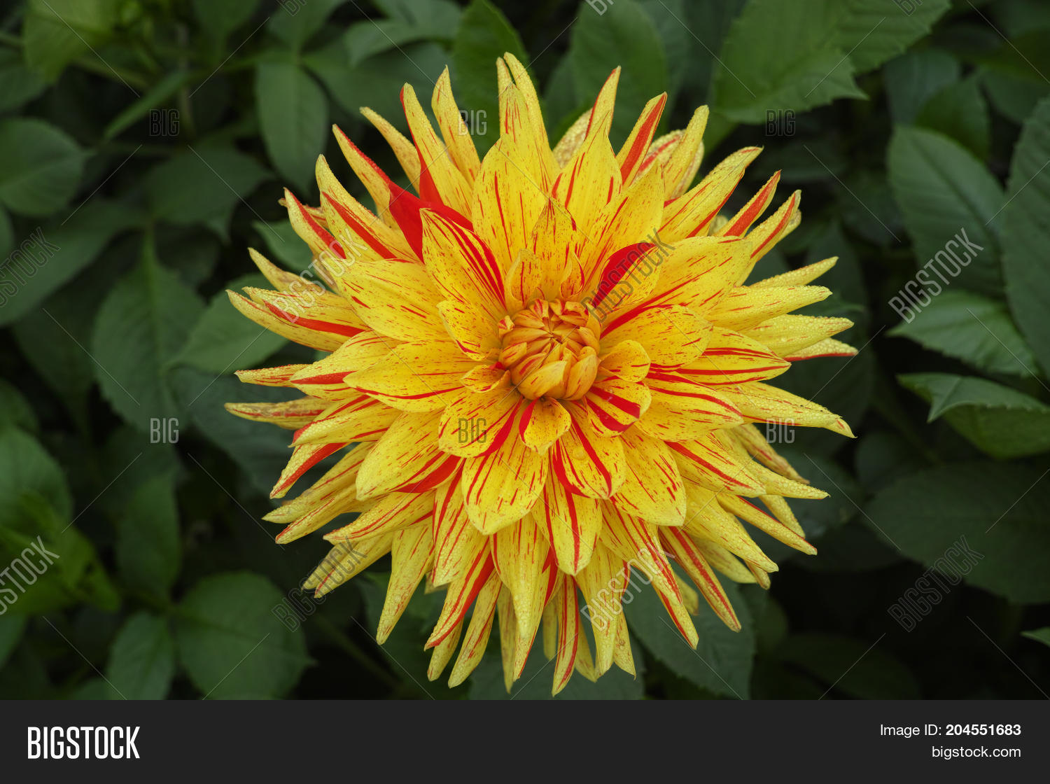 Yellow dahlia flowers image photo free trial bigstock yellow dahlia flowers beautiful bouquet or decoration from the garden izmirmasajfo