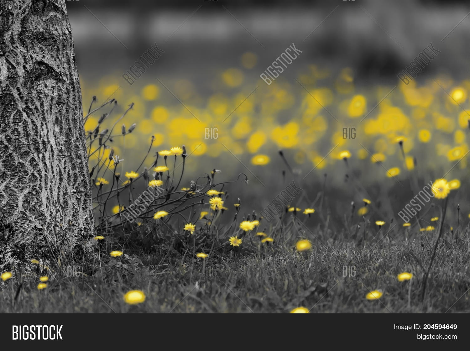 Field Of Dandelions In Black And White With The Yellow Flower Heads Color Splash
