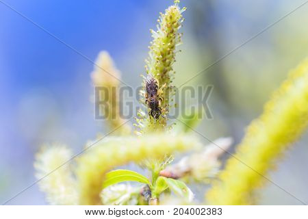 Risen blooming inflorescences male flowering catkin or ament on a Salix alba white willow in early spring before the leaves. Collect pollen from flowers and buds. Honey plants Europe.