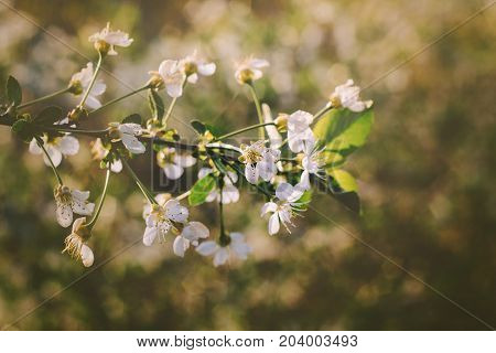 Soft Focus On A Blooming Branch Of Apple Tree