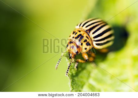 Macro photo of eating potato beetle on leaf on green background.