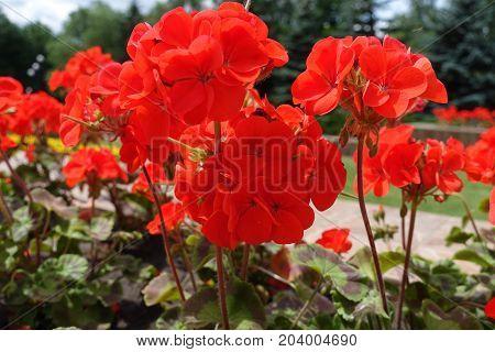 Stems With Scarlet Flowers Of Zonal Pelargonium