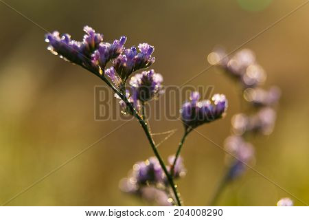 Branch of wild blue Statice flower ( Limonium) close-up with drops of dew on natural blurry background selective focus.