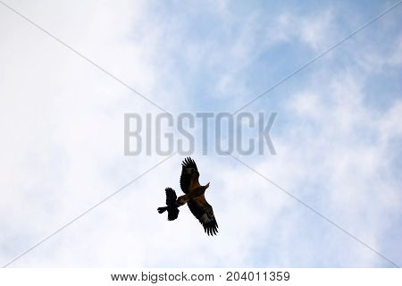 Sea-eagle and crow birds fly together against the white clouds and blue sky