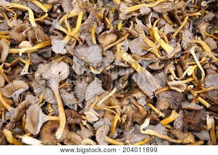 Mushroom Yellowfoot ( Cantharellus lutescens) sold on market