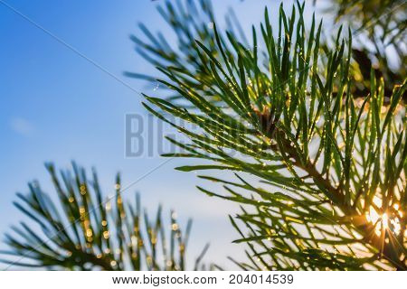 Pine Needle With Dewdrops In Morning