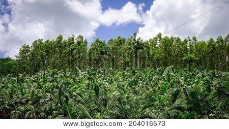 Coconut Palm Tree Plantation