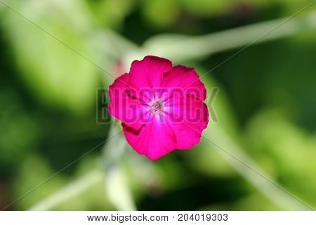 bright pink flower in green leaves top view