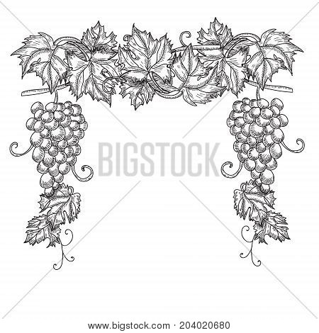 Hand drawn vector illustration of branch grapes. Vine sketch isolated on white background.