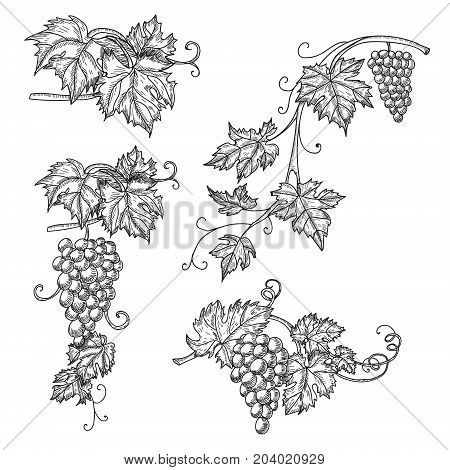 Hand drawn set vector illustration of branch grapes. Vine sketch isolated on white background