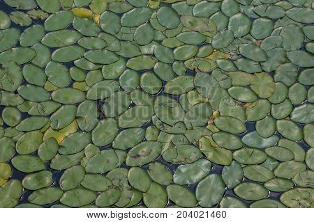 Lilly pad leaves in the water makes an interesting texture and background.