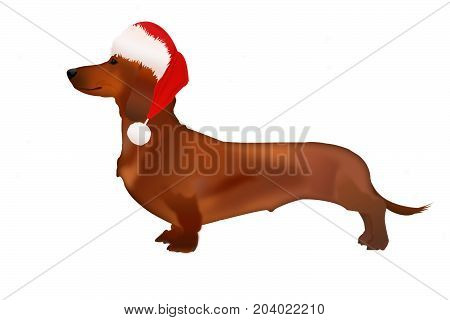An isolated Dachshund dog in Santa Claus hat on white background
