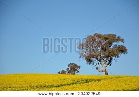 Gum tree growing in a bright yellow canola crop under blue sky in NSW farmland, Australia. Also known as rape seed.