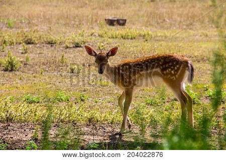 Portrait Of White-tailed Deer Fawn (odocoileus Virginianus)