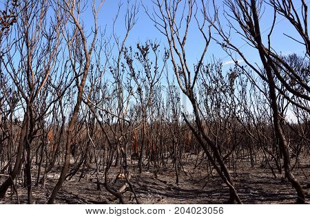 Burnt trees, ash and scorched earth after a bushfire in heathland in Kamay Botany Bay National Park, NSW, Australia.
