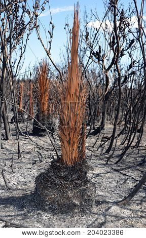 Burnt grass tree, Xanthorrhoea, and scorched earth after a bushfire in heathland in Kamay Botany Bay National Park, NSW, Australia.