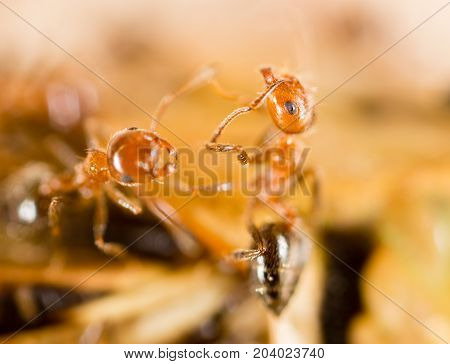 Ants eat a blacksmith in nature. Super Macro