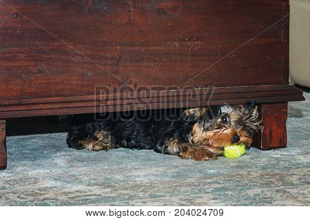 Little Yorkshire Terrier plays with a ball under the table