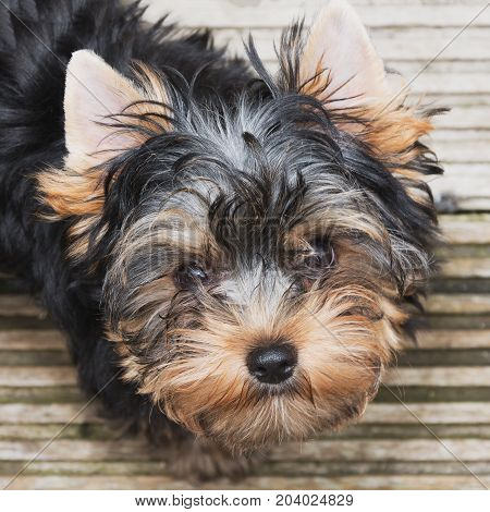 Little sweet Yorkie looks into a camera's lens