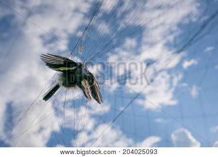 Birds Caught In The Net
