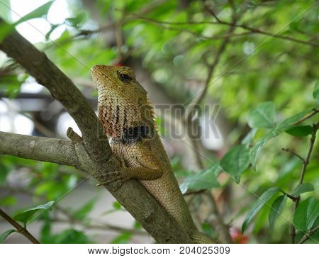 Brown lizard on the tree, King Ganga in Thailand