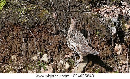 Ruffed grouse in Quebec. Canada north America