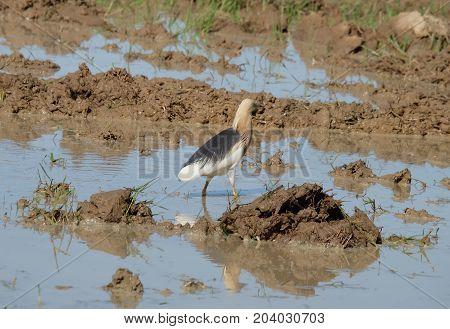 Egretta eulophotes walking on agricultural plots, Egret.