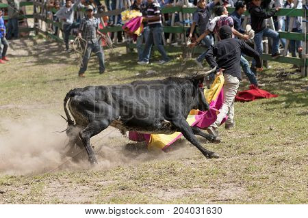 May 28 2017 Sangolqui Ecuador: young man holding a cape running from a charging bull at a rural amateur bullfight in the Andes