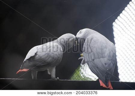 pair of grey cockatoo making love feeding food together happy feeling red tail sitting on branch of tree wood beak contact kissing
