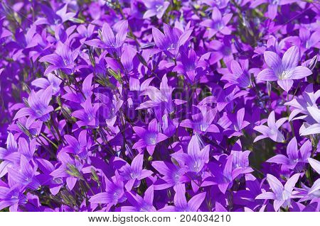 Natural floral background of beautiful wildflowers bells