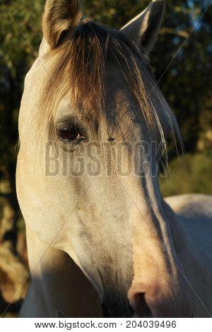 Luso-árabe horse head in Alentejo region. Portugal