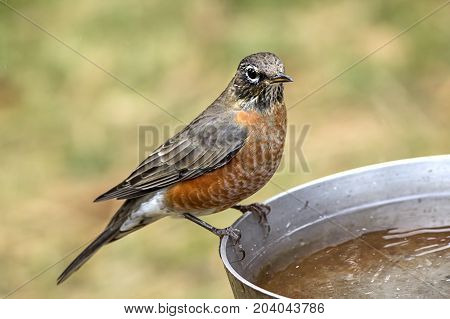 Robin perched on bird bath. An American robin is perched on the side of a bird bath.