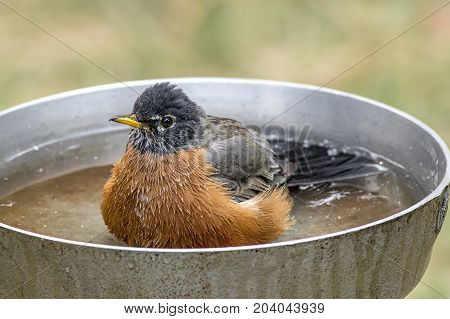A cute Robin is wading in a small bird bath.