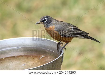 Robin on side of bird bath. An American robin is perched on the side of a bird bath.