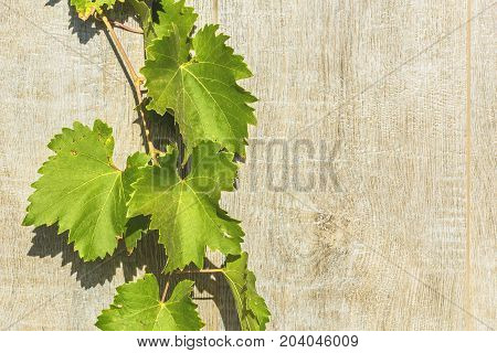 Texture whitewashed gray wooden planks and autumn grape leaves. Background close up