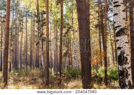 Autumn background. Autumn landscape. Sunlit autumn mixed deciduous-coniferous forest.