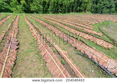 Plots for planting and the seedlings of the strawberry at plantation in Thailand