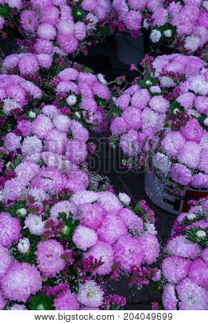 chic lilac bouquets of asters sold on the market.