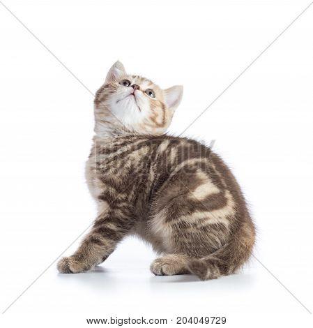 Cute scottish shorthair kitten cat looks up isolated on white