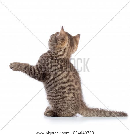 rear view of tabby-cat kitten isolated on white background