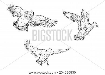 set of vector flying ducks isolated on white background