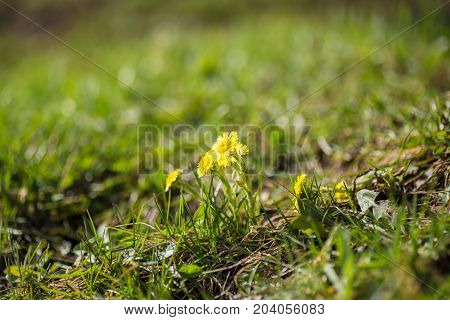 Yellow Coltsfoot Spring Flowers