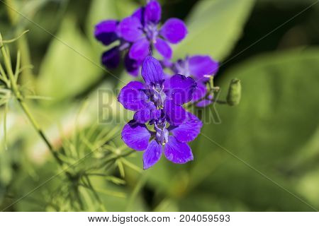 Blue flower with yellow anthers on thin stamens