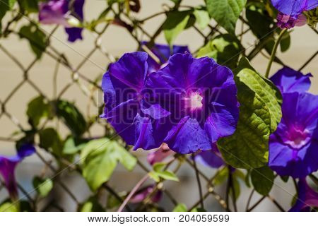 Blue flowers morning glory of the Ipomea genus of the family Convolvulaceae (Ipomea Purpurea)