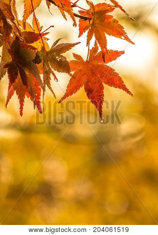 autumnal background slightly defocused red maple leaves with water drops