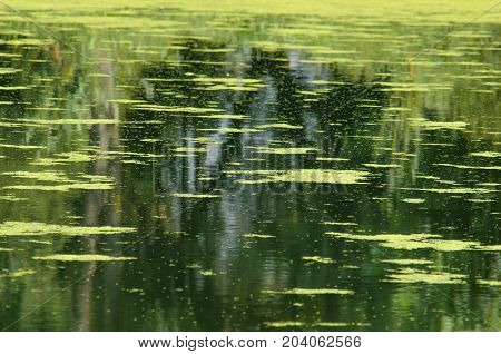 Water surface of a pond with a duckweed. Rippled water surface with natural reflections. Trees reflecting in water. Abstract scene. Pond and vegetation. Surface of water. Rippled water surface. Surface of a pond water.
