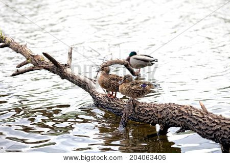 Couple of duck stands on the tree trunk in the river pond or lake
